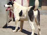 Собаки, щенки Среднеазиатская овчарка, цена 6500 Грн., Фото