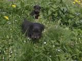 Собаки, щенки Ягдтерьер, цена 600 Грн., Фото