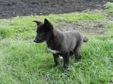 Собаки, щенята Східно-сибірська лайка, ціна 3500 Грн., Фото