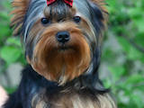Собаки, щенята Йоркширський тер'єр, ціна 13500 Грн., Фото