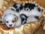 Собаки, щенята Ши-тцу, ціна 1700 Грн., Фото