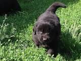 Собаки, щенки Ньюфаундленд, цена 4900 Грн., Фото