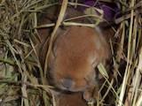 Грызуны Кролики, цена 1000 Грн., Фото