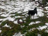Собаки, щенки Русско-Европейская лайка, цена 1800 Грн., Фото