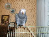 Папуги й птахи Папуги, ціна 10000 Грн., Фото