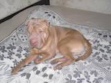 Собаки, щенята Шарпей, ціна 1000 Грн., Фото