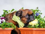 Собаки, щенята Брабантський гріффон, ціна 16500 Грн., Фото