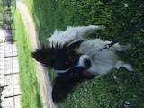 Собаки, щенята Папільон, ціна 5500 Грн., Фото
