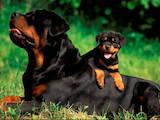 Собаки, щенки Ротвейлер, цена 7000 Грн., Фото