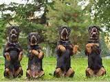 Собаки, щенята Ротвейлер, ціна 7000 Грн., Фото