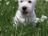 Собаки, щенята Вестхайленд уайт тер'єр, ціна 15000 Грн., Фото