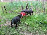 Собаки, щенки Эстонская гончая, цена 5500 Грн., Фото