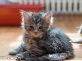 Кішки, кошенята Мейн-кун, ціна 5550 Грн., Фото