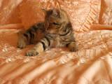 Кішки, кошенята Шотландська висловуха, ціна 7250 Грн., Фото