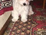 Собаки, щенки Мальтийская болонка, цена 4500 Грн., Фото