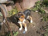 Собаки, щенки Эстонская гончая, цена 1100 Грн., Фото