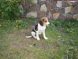 Собаки, щенята Естонський гончак, ціна 1100 Грн., Фото