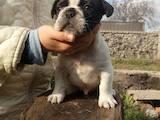 Собаки, щенята Французький бульдог, ціна 7500 Грн., Фото