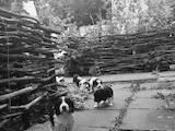 Собаки, щенки Русский спаниель, цена 1250 Грн., Фото