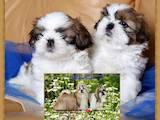 Собаки, щенята Ши-тцу, ціна 7200 Грн., Фото