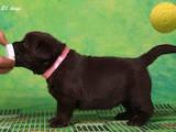 Собаки, щенята Лабрадор ретрівер, ціна 12000 Грн., Фото