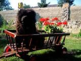 Собаки, щенки Чау-чау, цена 12 Грн., Фото