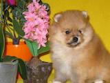Собаки, щенки Померанский шпиц, цена 12000 Грн., Фото