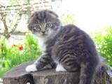 Кішки, кошенята Невідома порода, ціна 500 Грн., Фото