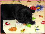 Собаки, щенята Кане Корсо, ціна 2800 Грн., Фото