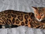 Кішки, кошенята Бенгальськая, ціна 20000 Грн., Фото
