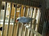 Попугаи и птицы Канарейки, цена 60 Грн., Фото