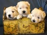 Собаки, щенята Вестхайленд уайт тер'єр, ціна 12500 Грн., Фото