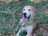 Собаки, щенята Ягдтер'єр, ціна 1022 Грн., Фото
