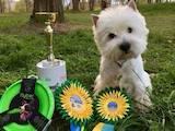 Собаки, щенки Вестхайленд уайт терьер, цена 12500 Грн., Фото