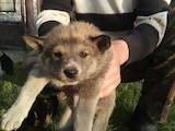 Собаки, щенки Восточно-Сибирская лайка, цена 2500 Грн., Фото