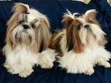 Собаки, щенята Ши-тцу, ціна 3500 Грн., Фото