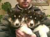 Собаки, щенки Восточно-Сибирская лайка, цена 5000 Грн., Фото