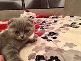 Кішки, кошенята Шотландська висловуха, ціна 2350 Грн., Фото