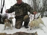 Собаки, щенята Жорсткошерстий фокстер'єр, ціна 3300 Грн., Фото
