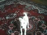 Собаки, щенята Гладкошерста фокстер'єр, ціна 1600 Грн., Фото