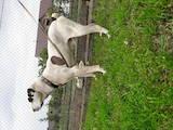 Собаки, щенки Среднеазиатская овчарка, цена 4500 Грн., Фото