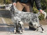Собаки, щенята Англійський сетер, ціна 26000 Грн., Фото