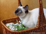 Кошки, котята Тайская, цена 9000 Грн., Фото