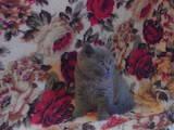Кішки, кошенята Шотландська висловуха, ціна 1200 Грн., Фото
