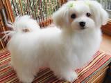 Собаки, щенки Мальтийская болонка, цена 14000 Грн., Фото