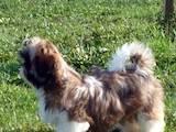 Собаки, щенки Ши-тцу, цена 4900 Грн., Фото