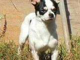 Собаки, щенята Чихуа-хуа, ціна 2800 Грн., Фото