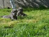 Собаки, щенята Ши-тцу, ціна 7500 Грн., Фото