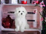 Собаки, щенки Мальтийская болонка, цена 45000 Грн., Фото