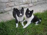 Собаки, щенки Русско-Европейская лайка, цена 1600 Грн., Фото